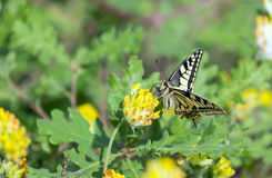 Old World Swallowtail (Papilio machaon) butterfly on yellow flower Stock Image