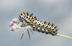 Old world swallowtail, papilio machaon larva feeding on hogweed Royalty Free Stock Images