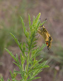 Old World Swallowtail Royalty Free Stock Images