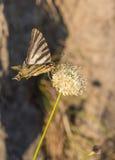 Old World Swallowtail Royalty Free Stock Photos