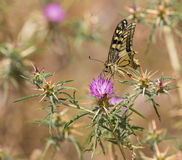 Old World Swallowtail on a Thistle Stock Image