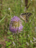 Old World Swallowtail on Thistle Plant. An Old World Swallowtail (Papilio machaon) feeds on pollen and nectar on a Thistle Plant (Cardus) with some of it's stock photos