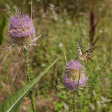 Old World Swallowtail on Thistle Plant Stock Images