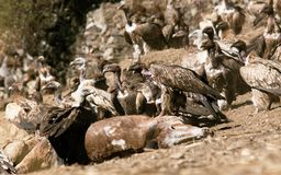 Old World Vultures on  horse Stock Photo