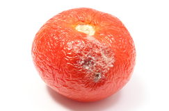 Old, wrinkled tomato with mold on white bacground Stock Photos