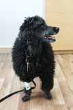 Old 9-year-old black poodle in a veterinary clinic after removing the tumor on the skin in the back area. On the front paw, an int stock photos