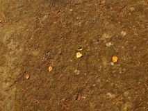 Old yellow birch leaf on dry moss. Dry ground in forest. Old yellow birch leaf on dry moss Stock Photo