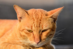 Old yellow cat. Stock Images
