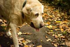Old yellow Labrador Retriever in autumn. Old female dog Labrador Retriver is going in the forest in the autumn time. In the background you can see a lot of stock photo