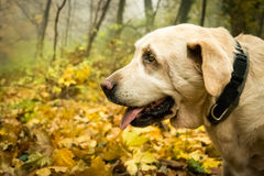 Old yellow Labrador Retriever in autumn. Old female dog Labrador Retriver is standing in the forest in the autumn time. In the background you can see a lot of stock photos