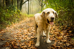 Old yellow Labrador Retriever in autumn. Old female dog Labrador Retriver is standing in the forest in the autumn time. In the background you can see a lot of stock photography