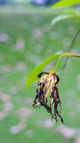 Old Ylang-Ylang flower on tree, for the manufacture of essential Royalty Free Stock Image