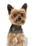 Old yorkshire terrier (13 years old) Royalty Free Stock Photos