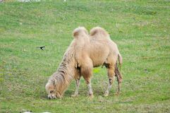 Old and young camel Royalty Free Stock Photo