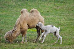 Old and young camel Stock Photography