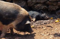 Old and young domestic pigs in the mud on pig farm. Domestic old pig and young sleeping piglet in the mud on pig farm in Croatia stock photos