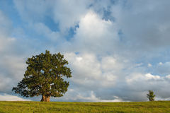 Oaks. Old and young oak on cloudy summer evening Stock Photo