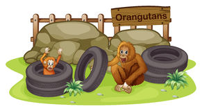 An old and a young orangutan Stock Photography