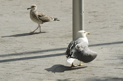 Old and young seabirds Yellow-legged gull. Selective focus Stock Photo