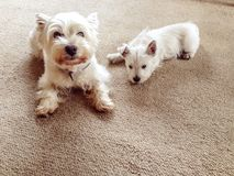 Old and young: senior west highland terrier dog with westie pupp. Y indoors in lounge house with carpet and copy space royalty free stock image