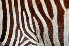 Old zebra Royalty Free Stock Photography