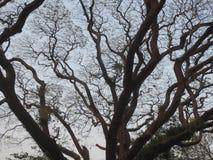 OLDAGED drzewo Zdjęcia Royalty Free