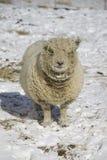 Olde英国娃娃Southdown母羊绵羊 免版税库存照片