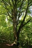 Olde Baum Stockbild