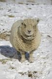 Olde English Babydoll Southdown Ewe Sheep Royalty Free Stock Photo