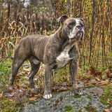 Olde English Bulldog in HDR. A Powerful Olde English Bulldog in HDR Stock Image