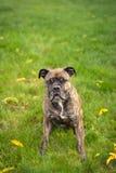 Olde english bulldog Royalty Free Stock Photography