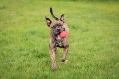 Olde english bulldog Stock Photography