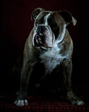 Olde English Bulldog portrait Stock Image