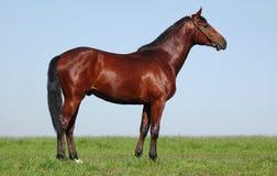 Oldenburger Kastanie Stallion stockfotos