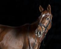 Oldenburger riding horse Stock Image