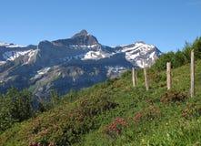 Oldenhorn e prato con Alpenrosen Immagini Stock Libere da Diritti