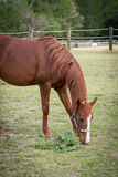 Older Arabian brown and white mature horse in pasture eating grass vegetation in field on ranch Royalty Free Stock Image