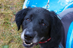 Older Black Dog in Dog Days of Summer Royalty Free Stock Photos