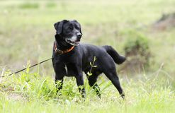 Older Black Labrador Retreiver dog with gray muzzle and hunter orange collar. Male senior Black lab with gray muzzle named Gavin. Outdoors on leash with orange Stock Images