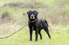 Older Black Labrador Retreiver dog with gray muzzle and hunter orange collar. Male senior Black lab with gray muzzle named Gavin. Outdoors on leash with orange Royalty Free Stock Photos