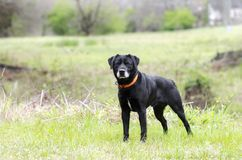 Older Black Labrador Retreiver dog with gray muzzle and hunter orange collar. Male senior Black lab with gray muzzle named Gavin. Outdoors on leash with orange Stock Image