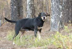 Older black and tan hound dog mix dog outside on leash. Senior black and tan coonhound doberman mutt mix breed dog outdoors on leash. Dog rescue pet adoption royalty free stock photos