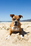 Older Boxer Dog Beach. Older Boxer dog laying on the sand ready to pounce Stock Photo