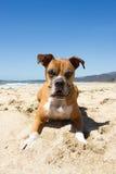 Older Boxer Dog Beach Stock Photo