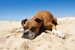 Older Boxer Dog Beach. Older Boxer dog laying on the sand stock photo