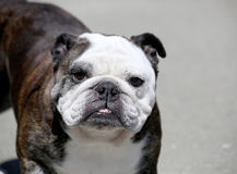 Older brindle English Bulldog posing Stock Photo