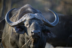 Older buffalo eating dry grass Stock Image