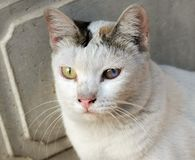 Older cat eyes begin to deteriorate. It has a habit of being familiar with people royalty free stock photography