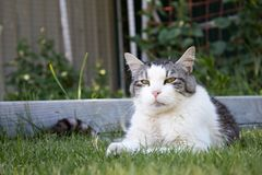 Older cat laying outside royalty free stock photography