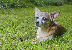 Older chihuahua in the grass Royalty Free Stock Image